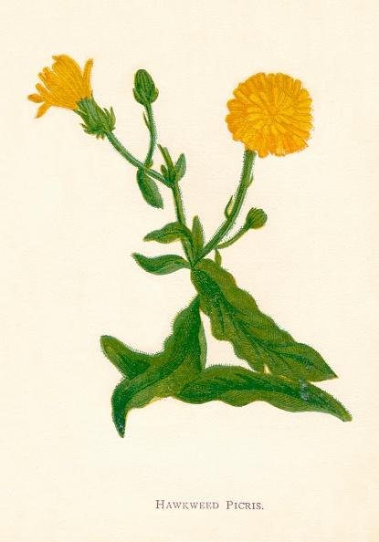 葉・植物「Hawkweed Picris, c1891, (1891)」:写真・画像(4)[壁紙.com]