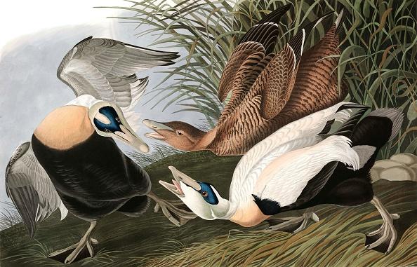 Beak「Eider Duck」:写真・画像(17)[壁紙.com]