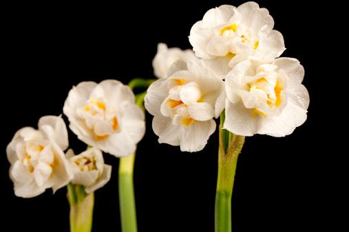 水仙「ブライダルクラウン(Narcissus」:スマホ壁紙(16)