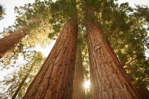 Durability「Sequoia Redwoods at sunset 」:スマホ壁紙(12)