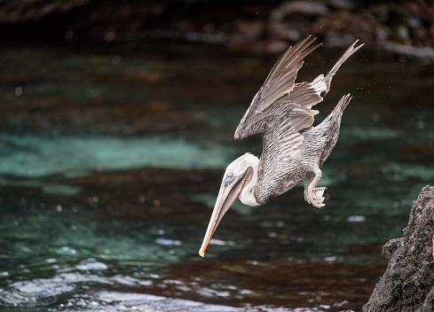 ガラパゴス諸島「ペリカン狩猟ダイビング ダウン、ガラパゴス諸島、エクアドル」:スマホ壁紙(6)