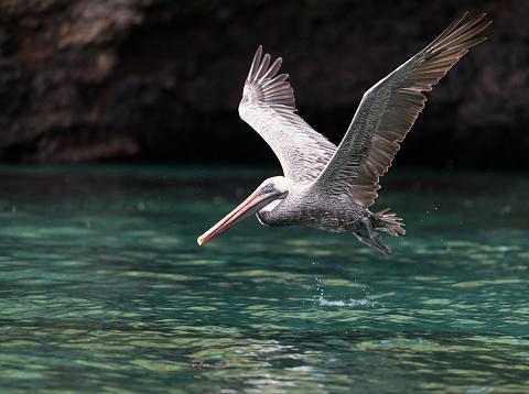ガラパゴス諸島「Midflight、ガラパゴス諸島、エクアドルでペリカン狩り」:スマホ壁紙(8)
