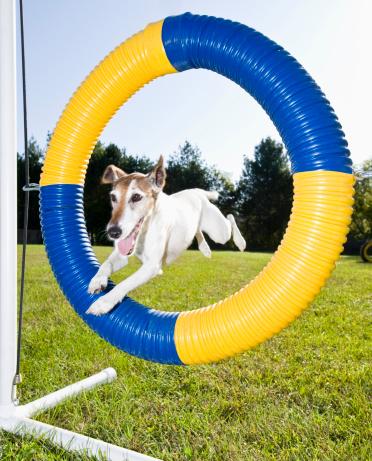 Dog Agility「Smooth Fot Terrier jumping through agility tire」:スマホ壁紙(11)