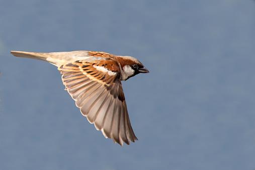 雀の飛行画像