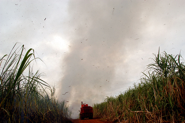 Sugar Cane「Day Labourer Harvest Sugar Canes」:写真・画像(6)[壁紙.com]