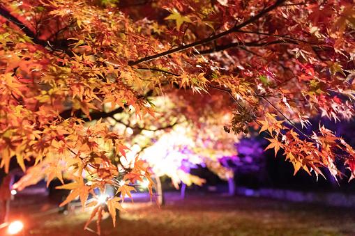 Japanese Maple「Maple leaves night illumination」:スマホ壁紙(13)
