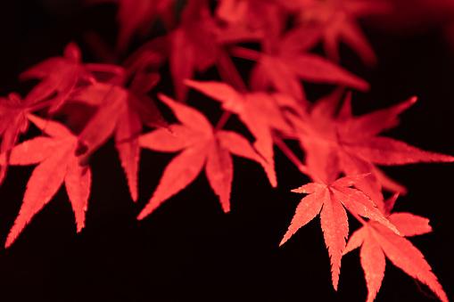 Japanese Maple「Maple leaves night illumination」:スマホ壁紙(0)