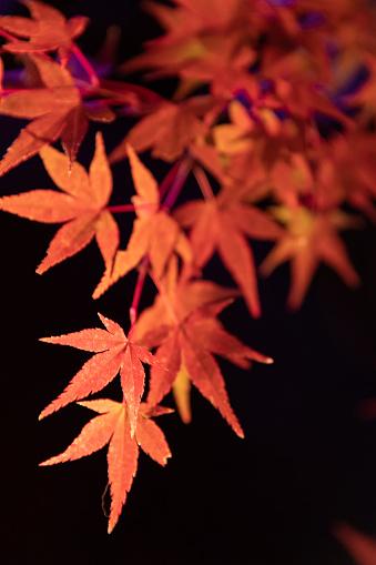 Japanese Maple「Maple leaves night illumination」:スマホ壁紙(16)