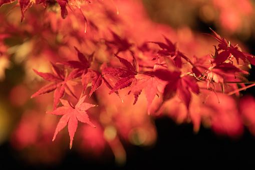 Japanese Maple「Maple leaves night illumination」:スマホ壁紙(6)