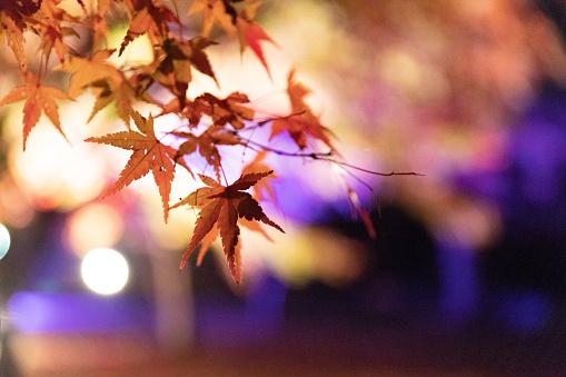 Japanese Maple「Maple leaves night illumination」:スマホ壁紙(14)