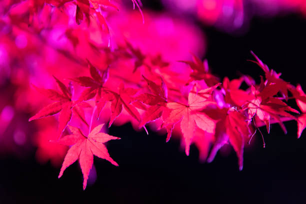 Maple leaves night illumination:スマホ壁紙(壁紙.com)