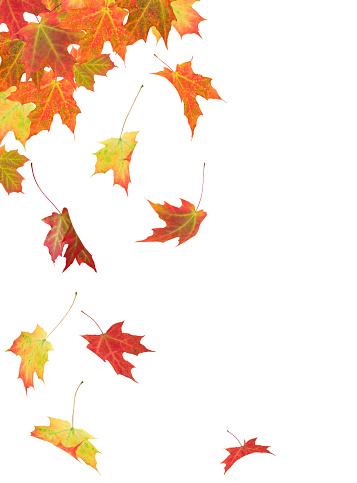 紅葉「カエデの葉」:スマホ壁紙(3)