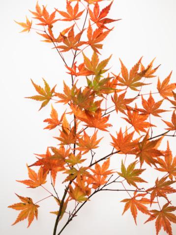かえでの葉「Maple leaves on white background, close-up」:スマホ壁紙(18)