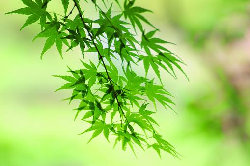 紅葉「Maple Leaves」:スマホ壁紙(13)