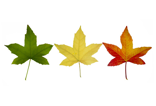 Japanese Maple「Maple leaves turning from green to yellow then red」:スマホ壁紙(7)