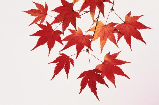 紅葉「Maple leaves, close-up」:スマホ壁紙(15)
