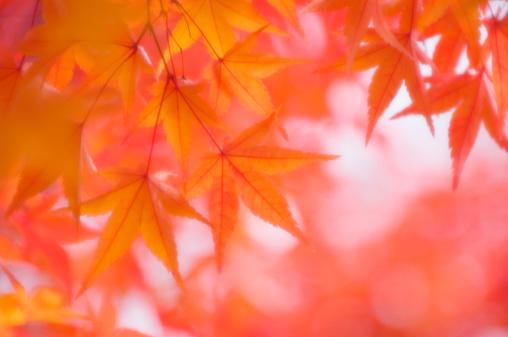 Japanese Maple「Maple Leaves. Acer palmatum」:スマホ壁紙(8)