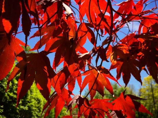 Maple leaves and sky.:スマホ壁紙(壁紙.com)