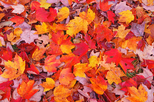 Maple Leaf「Maple (Acer sp.) leaves on ground, elevated view in autumn. White Mountains, White Mountain National Forest, New Hampshire, New England, USA, America.」:スマホ壁紙(13)
