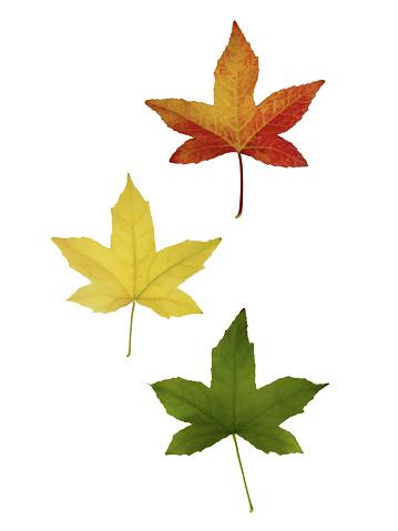 Japanese Maple「Maple leaves floating down in autumn.」:スマホ壁紙(7)