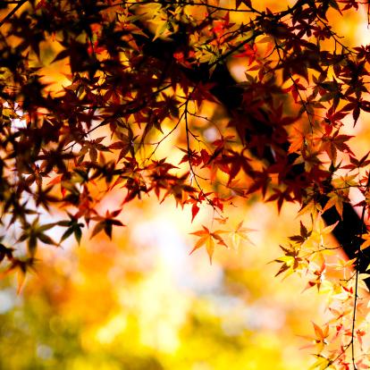 紅葉「秋のカエデの葉」:スマホ壁紙(7)