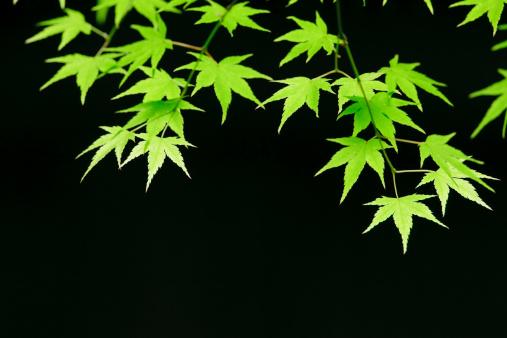 京都の夜「Maple Leaves」:スマホ壁紙(15)