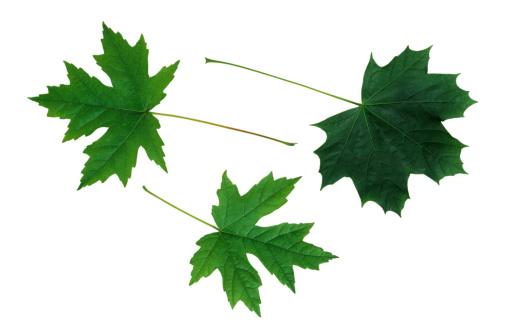 サトウカエデ「Maple Leaves」:スマホ壁紙(8)