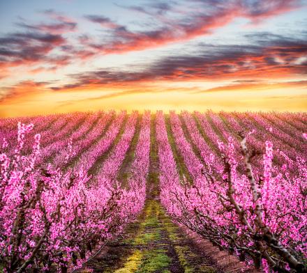 満開「Aitona、カタロニア、スペインの春の桃の花樹木と日没の風景」:スマホ壁紙(15)