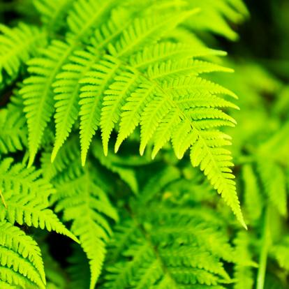 Frond「Spring: fresh fern leaves」:スマホ壁紙(8)