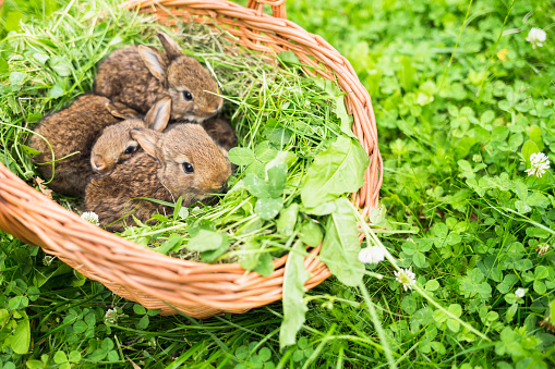 Baby Rabbit「Young rabbits in a basket on a green grass」:スマホ壁紙(15)