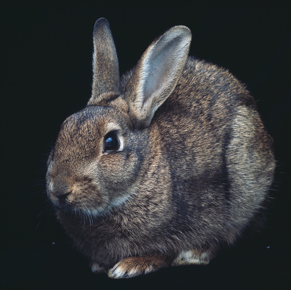 Black Background「Wild Rabbit」:写真・画像(7)[壁紙.com]