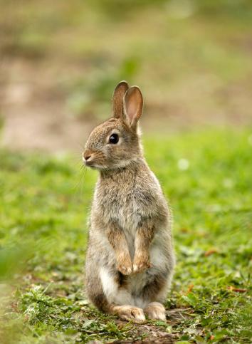 Animals In The Wild「Wild Rabbit (Oryctolagus cuniculus)」:スマホ壁紙(4)