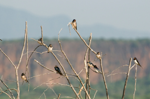 Lake Baringo「Wire-Tailed Swallows (Hirundo Smithii) Lake Baringo, Kenya, Africa」:スマホ壁紙(2)