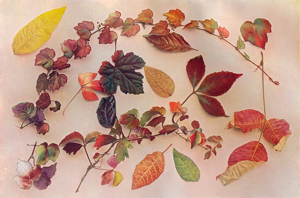 葉・植物「'Autumn Tints', c1903」:写真・画像(17)[壁紙.com]