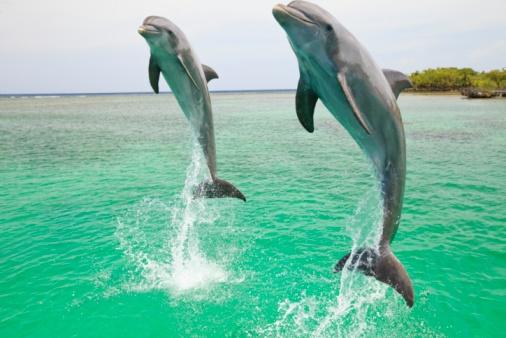 イルカ「Two Bottlenose Dolphins (Tursiops Truncatus) Jumping Out Of The Water At Anthony's Key Resort」:スマホ壁紙(6)