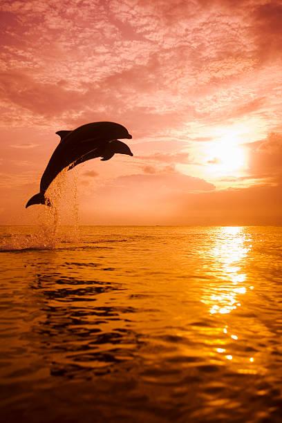 Two Bottlenose Dolphins (Tursiops truncatus) jumping out of water:スマホ壁紙(壁紙.com)