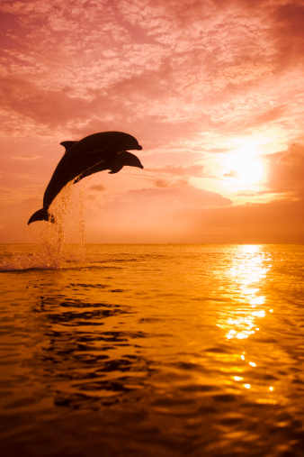 Animal Wildlife「Two Bottlenose Dolphins (Tursiops truncatus) jumping out of water」:スマホ壁紙(9)