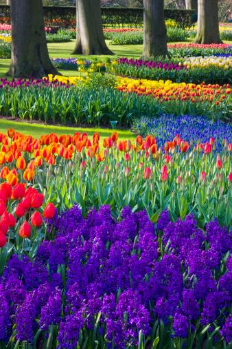 Keukenhof Gardens「River of Grape Hyacinth in landscape of tulips」:スマホ壁紙(8)