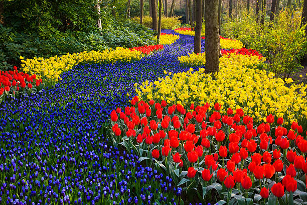 River of Grape Hyacinth in landscape of tulips:スマホ壁紙(壁紙.com)