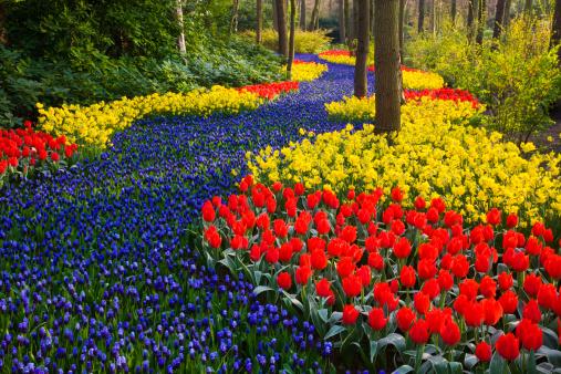 Keukenhof Gardens「River of Grape Hyacinth in landscape of tulips」:スマホ壁紙(4)