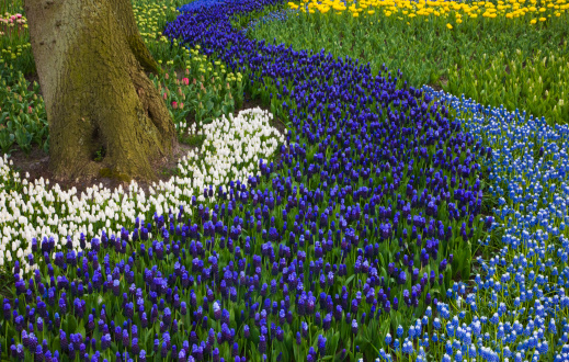 Keukenhof Gardens「River of Grape Hyacinth in landscape of tulips」:スマホ壁紙(5)