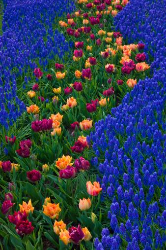 Keukenhof Gardens「River of Grape Hyacinth in landscape of tulips」:スマホ壁紙(13)