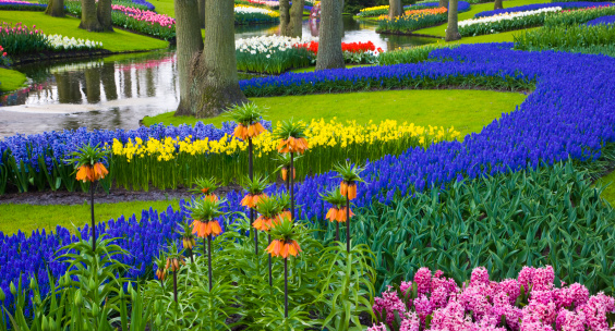 Keukenhof Gardens「River of Grape Hyacinth in landscape of tulips」:スマホ壁紙(17)