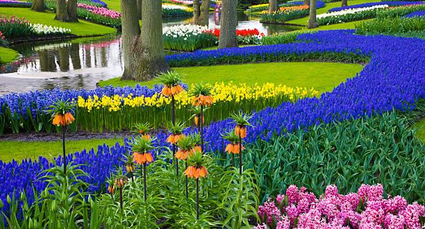 River of Grape Hyacinth in landscape of tulips:スマホ壁紙(壁紙.com)