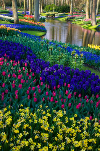 Keukenhof Gardens「River of Grape Hyacinth in landscape of tulips」:スマホ壁紙(19)