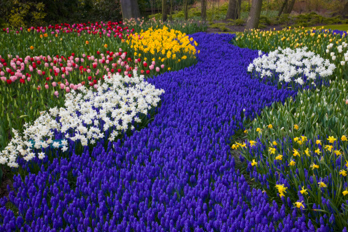 Keukenhof Gardens「River of Grape Hyacinth in landscape of tulips」:スマホ壁紙(6)