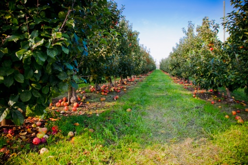 Apple Tree「an apple orchard in the pacific northwest」:スマホ壁紙(17)