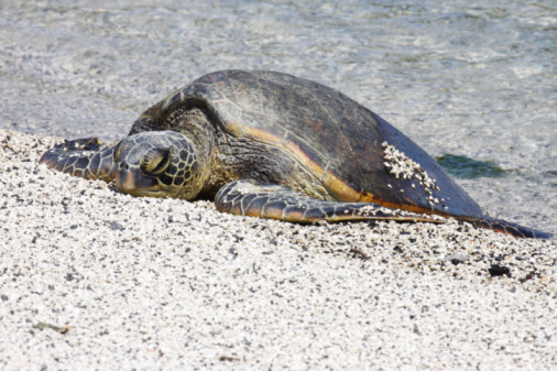 Green Turtle「Resting Hawaiian Green Sea Turtle」:スマホ壁紙(4)
