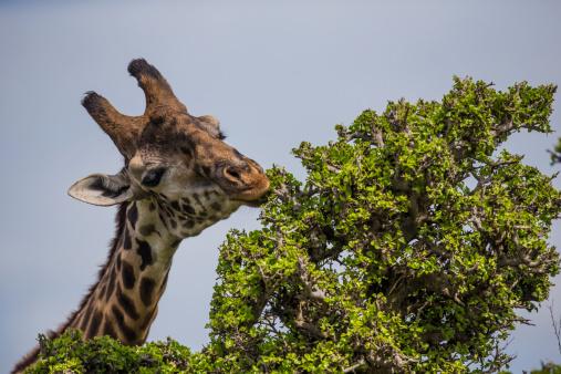 Giraffe「Giraffe browsing acacia tree」:スマホ壁紙(5)