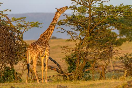 Giraffe「giraffe browsing acacia leaves,」:スマホ壁紙(18)